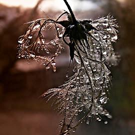 Dancers At November Rain by Marija Jilek - Nature Up Close Natural Waterdrops ( water, november, dancers, wild clematis, nature, drops, plants, natural waterdrops, seeds, rain )