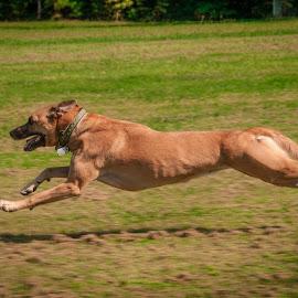 Roxy on the Run by Myra Brizendine Wilson - Animals - Dogs Running ( belgian malinois, dogs, roxy, running, malinois, canine, roxy on the run, dog running, belgian shepherd, pet, pets, roxy running, dog,  )