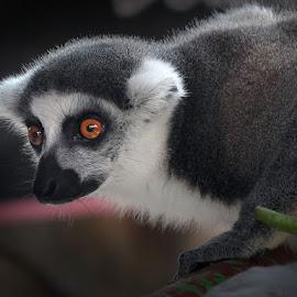 golek beling by Firmanullah Bagus - Novices Only Wildlife (  )