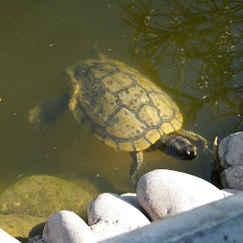 Turtle swimming  by Donna Probasco - Novices Only Wildlife (  )