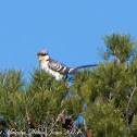Great Spotted Cuckoo; Críalo