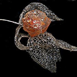 Destiny by Marija Jilek - Nature Up Close Other plants ( water, nature, lace lantern, drops, plants, physalis alkekengy, destiny, seeds/fruit, rain )