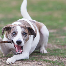 Cigar by Peter Marzano - Animals - Dogs Playing