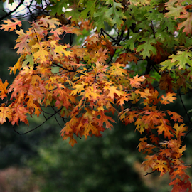 by Dipali S - Nature Up Close Leaves & Grasses ( autumn, foliage, green, oak, fall, branch, brown, yellow, leaves )