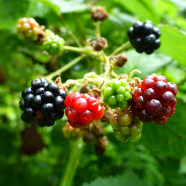 Blackberry in the wild by Patricia Vleeming - Food & Drink Fruits & Vegetables (  )