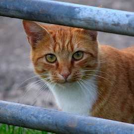 Through the gate by Dave Dutton - Animals - Cats Portraits ( cat, ginger, framed, ginger tom, peek, ginger cat, posing, gate,  )