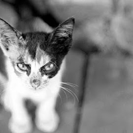 angry by Agus Samudra - Animals - Cats Kittens (  )