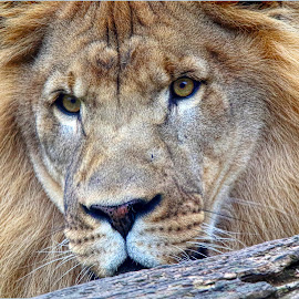 by Dennis Ba - Animals Lions, Tigers & Big Cats