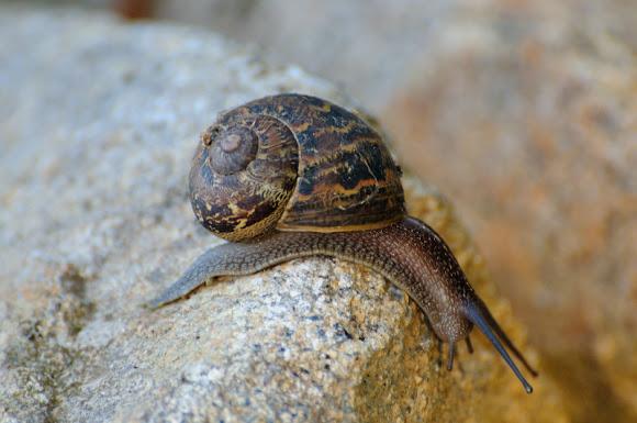 Garden snail caracol com n de jard n project noah for Caracol de jardin