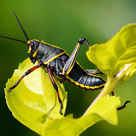 grass hopper by Milton Moreno - Animals Insects & Spiders ( grass hopper insect bug cricket leaf )