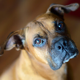 Boxer Bokeh by Johanna O'Leary - Animals - Dogs Portraits ( pet, boxer, dog )