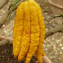 "Citron ""Main de Budah"" (Fingered citron)"