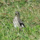 mockingbird (juvenile)