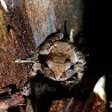 Mountain Chorus Frog