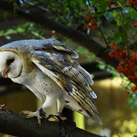 Emma, Out On A Limb by Roy Walter - Animals Birds ( captivity, animals, barn owl, birds, raptors )