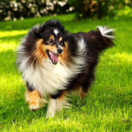 by Jane Bjerkli - Animals - Dogs Running ( expression, breed, playful, joy, one, cute, run, running, natural background, playing, adorable dogs, curious, nature, happy, shetland sheepdog, action, mamal, animal, pedigree, moving, grass, animalia, play, fun, young, portrait, canine, joyful, animal kingdom, pet, summer, zoology, companion dog, dog, sheltie, walk, natural,  )