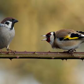 Carduelis carduelis vs passer by Dragomir Taborin - Animals Birds