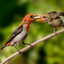 Dicaeum trochileum by MazLoy Husada - Animals Birds
