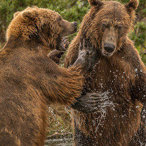 Grizzly bears at Katmai National Park, Alaska by Ferruccio Galbiati - Animals Other Mammals ( mammals, bear, grizzly, animals, alaska,  )