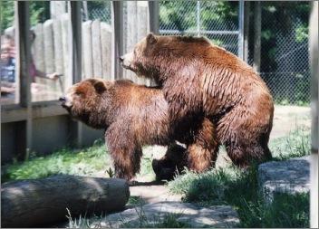 Bären Voyeurismus Zoo Beobachtung Paarung