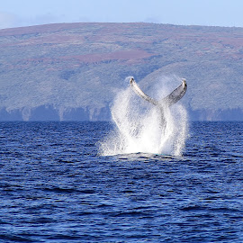 Humpback Tail Slap by Andy Schwanke - Animals Sea Creatures ( humpback whale, maui, tail slap, ocean, hawaii, whales )