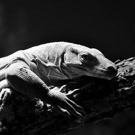 Hanging Around by Lisa Silva - Animals Reptiles ( black and white, dragon, wildlife, komodo, reptile,  )