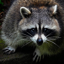 Racoon by Dikky Oesin - Animals Other