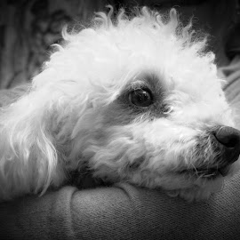 Cuddily Poodle by Chantal Reed - Animals - Dogs Portraits ( fluffy, poodle, white, dog, nose, eyes )