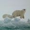 Polar Bear (mother and cubs)