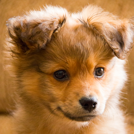 Tevye, The Terrible by Sean Doran - Animals - Dogs Puppies ( breed, spitz, puppy, brown, zwergspitz, dog, cute, pomeranian, smart )