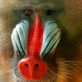 mandrill portrait by Prodjo Tamansari - Novices Only Wildlife