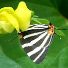 Zebra-striped Hairstreak