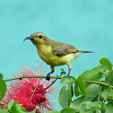 Olive-backed Sunbird or Yellow-bellied Sunbird (female)
