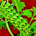 Black Swallowtail Caterpiller