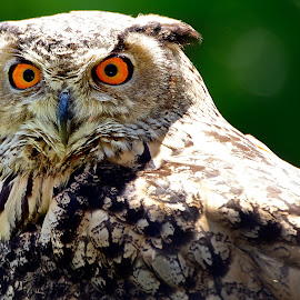 Owl Be Watching You by Paul Mirfin - Animals Birds ( animals, staring, beak, wildlife, still, feathers, birds, portrait, eyes )