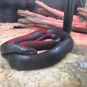Eastern Indigo Snake