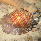 Snail attacking Sea Cucumber
