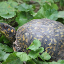 Eastern Box Turtle (female)