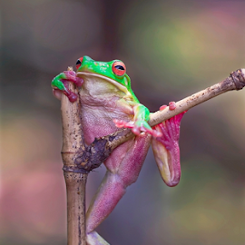 Drunken Frog by Vincent Sinaga - Animals Amphibians ( drunken, frog, green, amphibian, leaf frog )