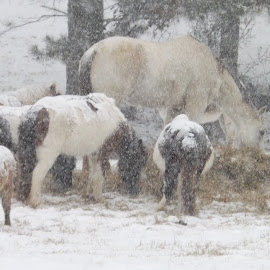 Snow Babies in Alabama by Sarah Thomas - Animals Horses