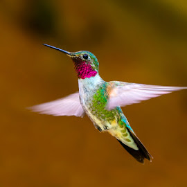 Ruby by Richard Duerksen - Animals Birds ( co, hummingbird, ruby throated, crystal )