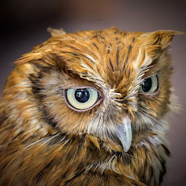 Screech Owl Portrait by Don Holland - Animals Birds ( screech, owl, captive, vc, reelfoot )