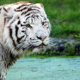 by Laurie Smakal - Animals Lions, Tigers & Big Cats ( white tiger )