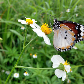butterfly on flower by 思远 郭 - Animals Insects & Spiders ( butterfly flower outdoor garden fresh )