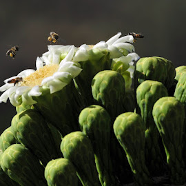 Saguaro Bloom With Bees and Pollen by Dub Scroggin - Nature Up Close Other plants ( saguaro cactus, pollen, sonoran desert, bee, saguaro bloom, tucson, saguaro )