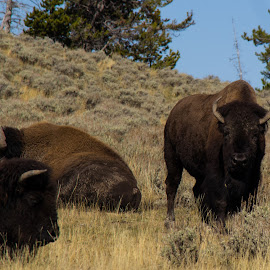 Bison by Bets Rentmeister - Animals Other Mammals ( bison, yellowstone national park, wildlife, photography, hiking )