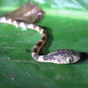 Chunk-headed  tree snake