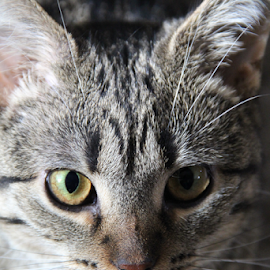 Isis Trouble by Marsha Biller - Animals - Cats Portraits ( green/amber eyes, black/gray, stripes, egyptian mau, closeup,  )