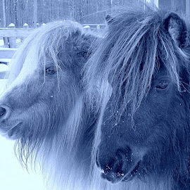 Mighty Minis by Sue Delia - Animals Horses ( miniature horse, winter, minis,  )