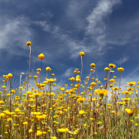 Yellows by Gil Reis - Flowers Flowers in the Wild ( hills, wild, nature, portugal, flowers, fields, , Hope )